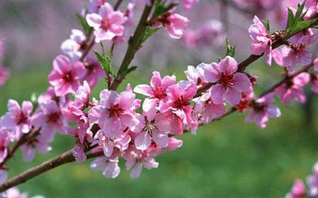 Cành đào khoe sắc báo hiệu một mùa xuân mới đã về